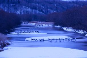 明け方の雪裡川で羽根を休めるタンチョウの写真素材 [FYI04314546]