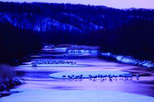 明け方の雪裡川で羽根を休めるタンチョウの写真素材 [FYI04314547]