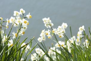日本スイセンの花の写真素材 [FYI04314648]