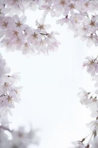 ソメイヨシノの花びらの写真素材 [FYI04314667]