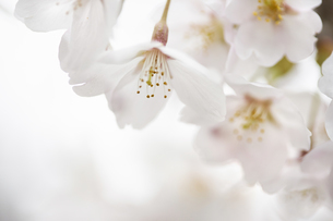 ソメイヨシノの花びらの写真素材 [FYI04314668]