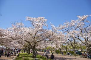 桜の花びらの写真素材 [FYI04314697]