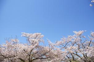 桜の花びらの写真素材 [FYI04314699]