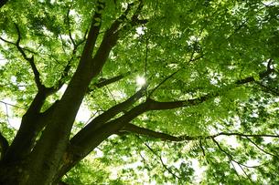 新緑の葉っぱの写真素材 [FYI04314763]