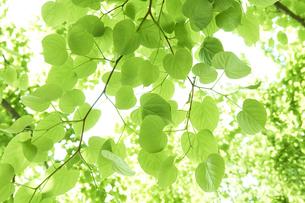 新緑の葉っぱの写真素材 [FYI04314773]