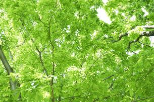 新緑の葉っぱの写真素材 [FYI04314774]