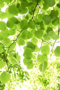 新緑の葉っぱの写真素材 [FYI04314775]
