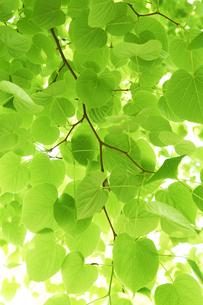 新緑の葉っぱの写真素材 [FYI04314778]