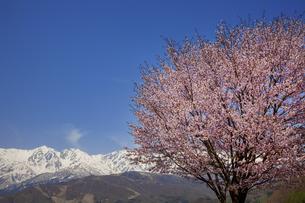 白馬三山と山桜の写真素材 [FYI04314895]