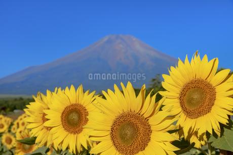 ひまわりと富士山 花の都公園からの写真素材 [FYI04314902]