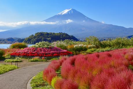 富士山とコキア 河口湖大石公園の写真素材 [FYI04314941]