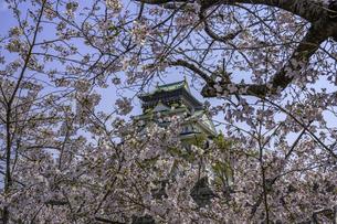 大阪城と桜の写真素材 [FYI04315165]