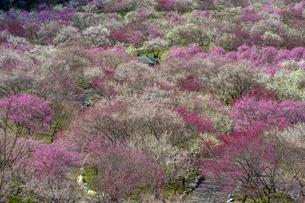 いなべ市農業公園の梅の写真素材 [FYI04315174]