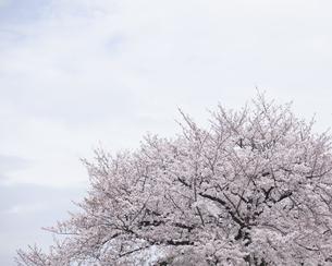 桜の写真素材 [FYI04315183]