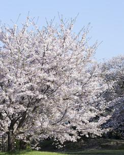 桜と青空の写真素材 [FYI04315191]
