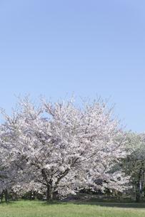 桜と青空の写真素材 [FYI04315192]