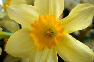 黄色いスイセンの花のアップの写真素材 [FYI04315309]