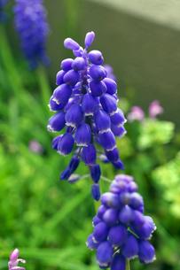 ムスカリの青い花の写真素材 [FYI04315355]