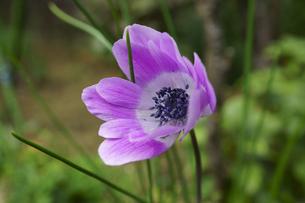 アネモネの花の写真素材 [FYI04315361]