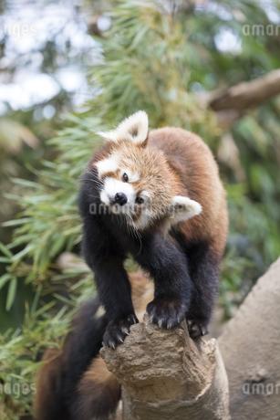 レッサーパンダの写真素材 [FYI04316251]