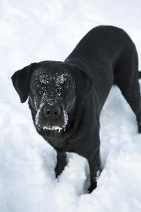 雪上の黒い犬(ラブラドール・レトリバー)の写真素材 [FYI04316336]