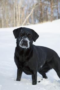 雪上の黒い犬(ラブラドール・レトリバー)の写真素材 [FYI04316338]