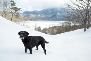 雪上の黒い犬(ラブラドール・レトリバー)の写真素材 [FYI04316341]