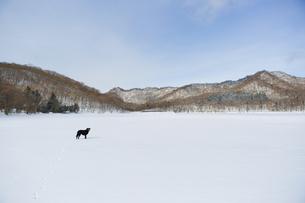 雪上の黒い犬(ラブラドール・レトリバー)の写真素材 [FYI04316355]