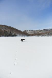雪上の黒い犬(ラブラドール・レトリバー)の写真素材 [FYI04316356]