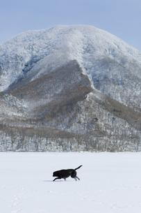 雪上で遊ぶ黒い犬(ラブラドール・レトリバー)の写真素材 [FYI04316361]