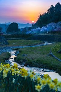 朝日に照らされるスイセンと桜の写真素材 [FYI04316611]