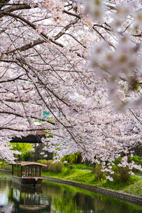 京都 伏見 桜と十石舟の写真素材 [FYI04316649]