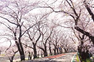 厚木市 桜並木の写真素材 [FYI04316663]