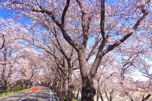 厚木市 桜並木の写真素材 [FYI04316672]