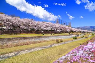 秦野市 水無川の桜並木と芝桜の写真素材 [FYI04316684]