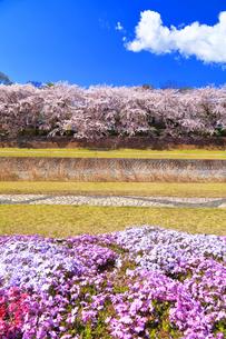 秦野市 水無川の桜並木と芝桜の写真素材 [FYI04316689]