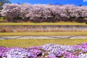 秦野市 水無川の桜並木と芝桜の写真素材 [FYI04316690]