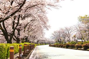秦野市 運動公園通りの桜並木の写真素材 [FYI04316698]