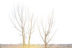 逆光の光を浴びる冬の木の写真素材 [FYI04316749]