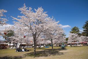 仙台市西公園の桜の写真素材 [FYI04317348]
