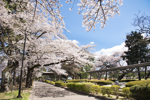 仙台市榴岡公園の桜の写真素材 [FYI04317366]
