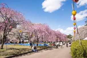仙台市榴岡公園の桜の写真素材 [FYI04317371]
