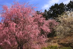 4月 枝垂桜の高見の郷-山間の千本のしだれ桜-の写真素材 [FYI04317482]