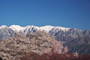 大草城址公園の桜と中央アルプスの朝の写真素材 [FYI04317514]