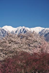 大草城址公園の桜と中央アルプスの朝の写真素材 [FYI04317516]