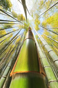 竹林に竹の子と空に太陽の写真素材 [FYI04317909]