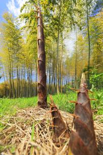 竹林に竹の子の写真素材 [FYI04317914]