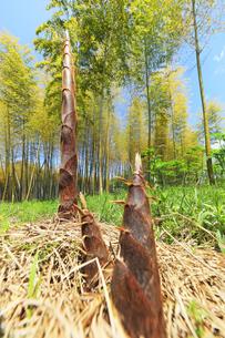 竹林に竹の子の写真素材 [FYI04317915]