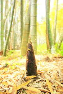 竹林に竹の子の写真素材 [FYI04317922]