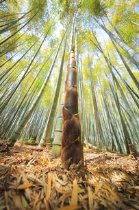 竹林に竹の子の写真素材 [FYI04317924]